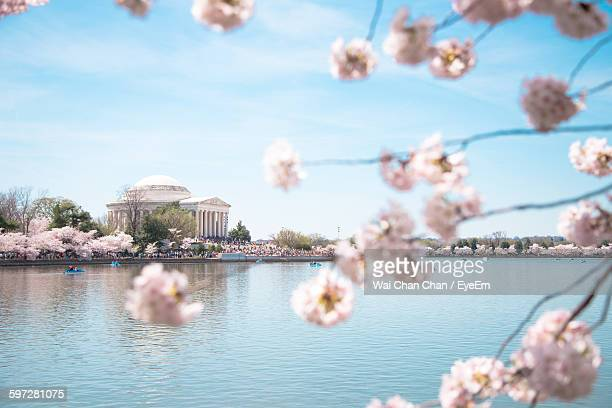 Low Angle View Of Cherry Blossoms Blooming On Tree At Tidal Basin