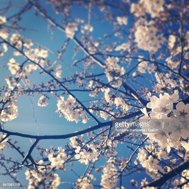 Low Angle View Of Cherry Blossoms Blooming On Tree