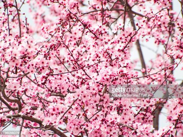 low angle view of cherry blossoms blooming on tree - flower part stock pictures, royalty-free photos & images