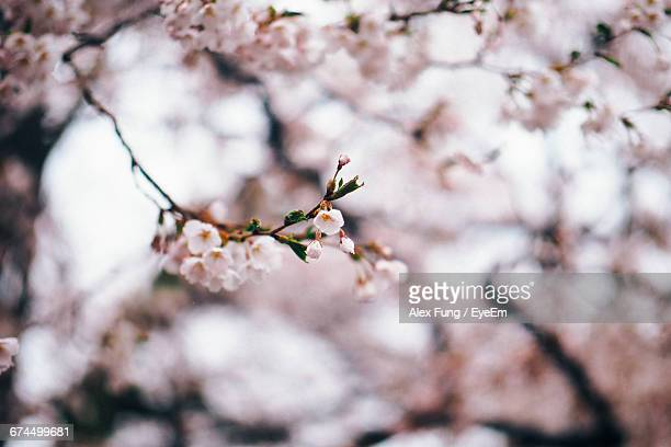Low Angle View Of Cherry Blossoms During Springtime