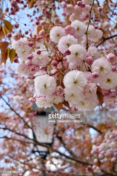 low angle view of cherry blossoms in spring, chatou, france - 桜吹雪 ストックフォトと画像
