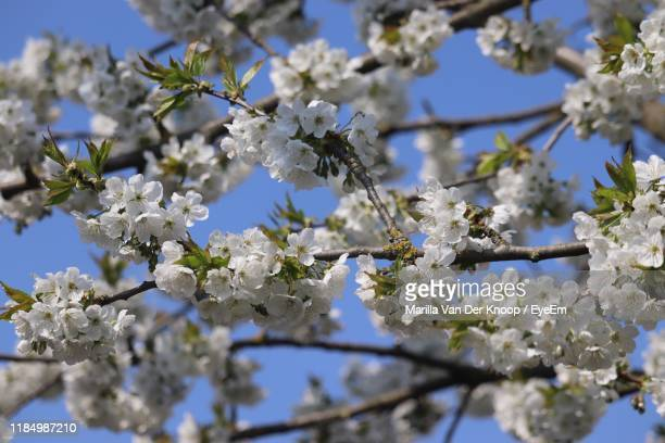 low angle view of cherry blossoms in spring - gelderland stock pictures, royalty-free photos & images