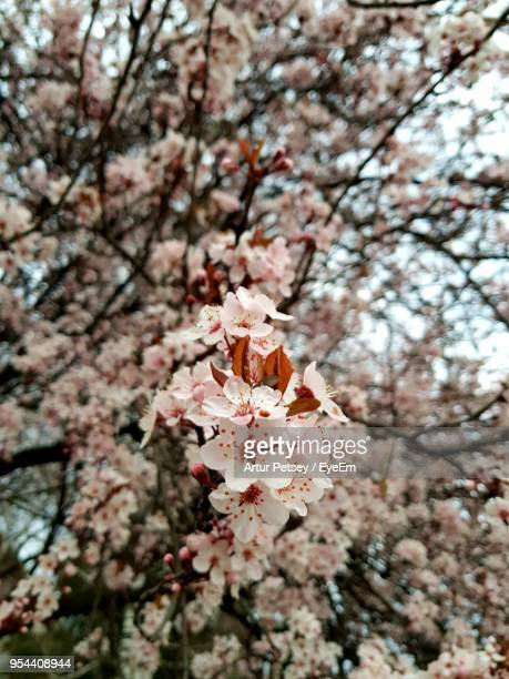 low angle view of cherry blossoms in spring - artur petsey foto e immagini stock