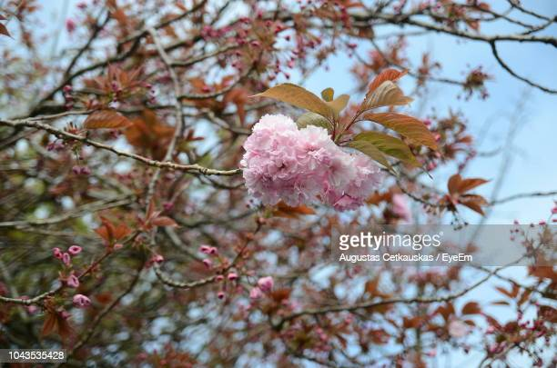 low angle view of cherry blossoms on tree - cetkauskas stock pictures, royalty-free photos & images