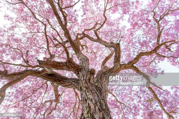low angle view of cherry tree against sky - obstbaum stock-fotos und bilder