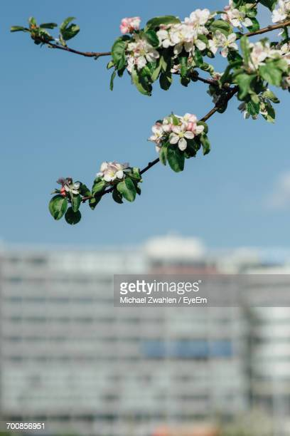 Low Angle View Of Cherry Tree During Springtime Against Sky