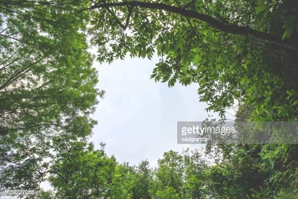 low angle view of chestnut and ash trees against overcast sky - ash tree bildbanksfoton och bilder