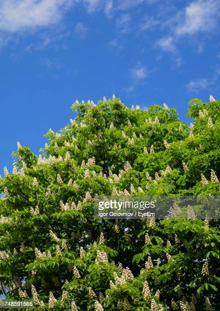 low angle view of chestnut tree against blue sky - igor golovniov stock pictures, royalty-free photos & images