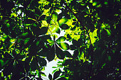 Low Angle View Of chestnut tree against Sky