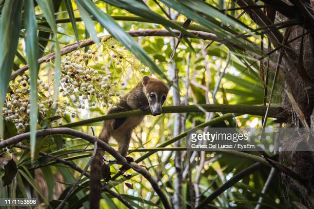 low angle view of coati on tree in forest - coati stock pictures, royalty-free photos & images