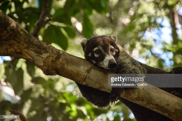 low angle view of coati on tree - coati stock pictures, royalty-free photos & images