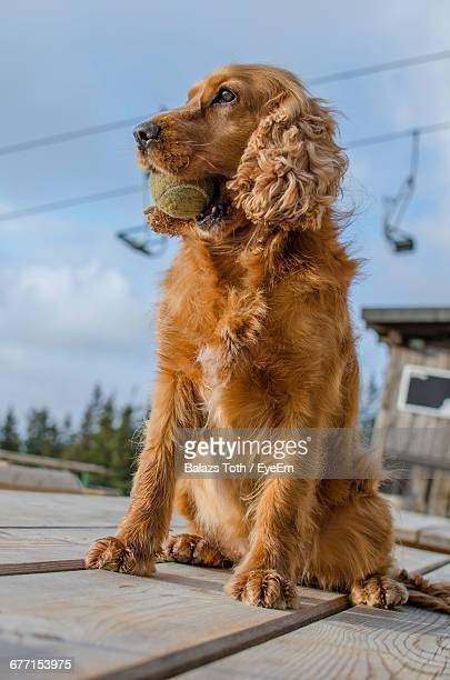Low Angle View Of Cocker Spaniel Carrying Ball In Mouth