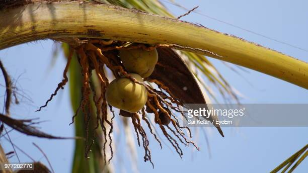 Low Angle View Of Coconut Growing On Tree Against Sky