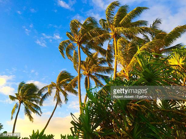 Low Angle View Of Coconut Palm Leaves Blowing In Wind Against Sky