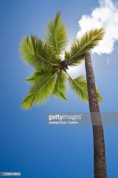 low angle view of coconut palm tree against blue sky - andrea rizzi stockfoto's en -beelden