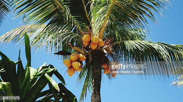 Low Angle View Of Coconut Palm Tree Against Clear Blue