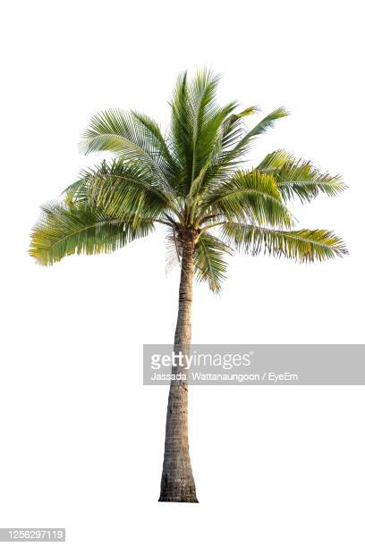 low angle view of coconut palm tree on white - tropical tree stock pictures, royalty-free photos & images