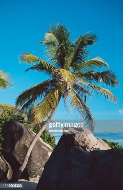 low angle view of coconut palm tree - bortes stock-fotos und bilder