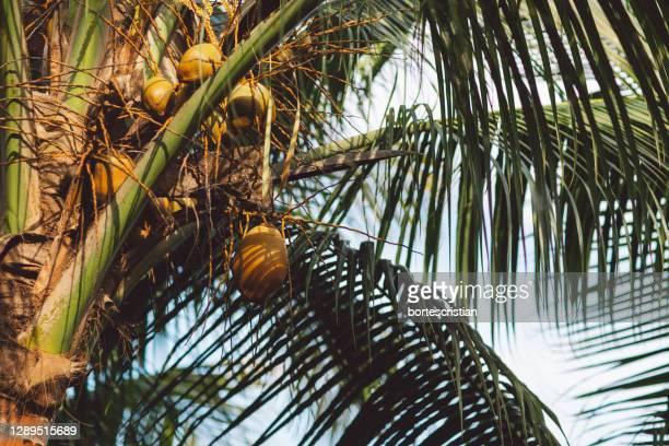 low angle view of coconut palm tree - bortes fotografías e imágenes de stock
