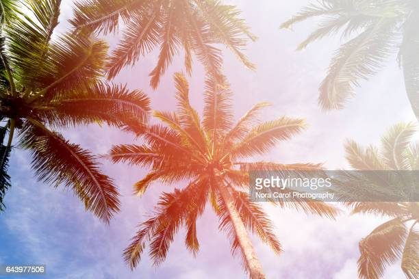 Low angle view of Coconut palm tree with sunlight