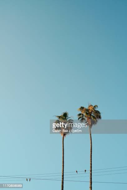 low angle view of coconut palm trees and birds perching on cables against clear blue sky - palm tree stock pictures, royalty-free photos & images