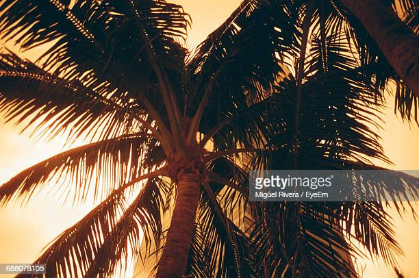 Low Angle View Of Coconut Palm Trees During Sunset