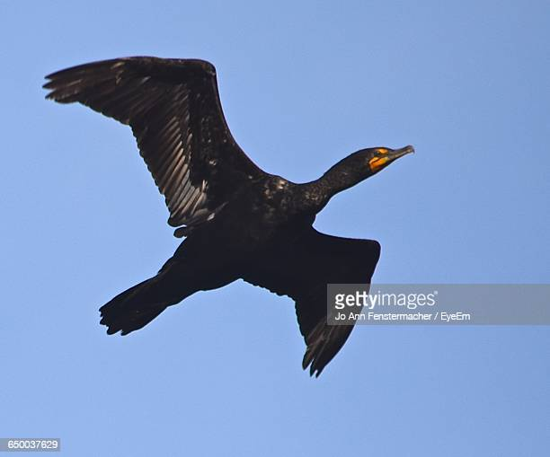 low angle view of cormorant flying against clear sky - jo wilder stock-fotos und bilder