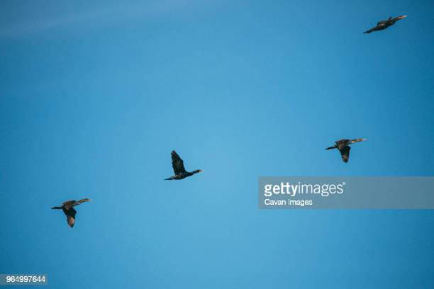 Low angle view of cormorants flying in clear blue sky