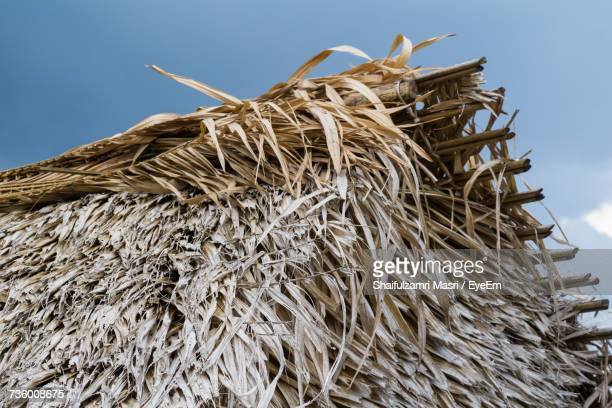 low angle view of corn against sky - shaifulzamri stock pictures, royalty-free photos & images