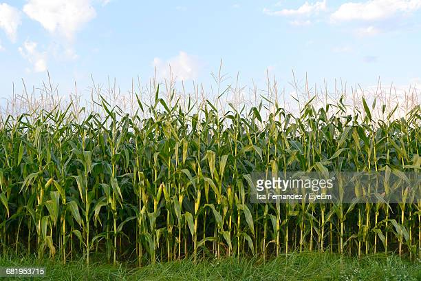 low angle view of corn crop growing in field - corn stock pictures, royalty-free photos & images