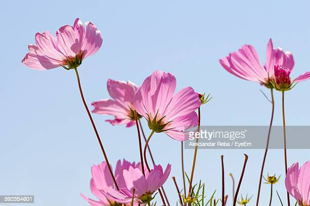 Low Angle View Of Cosmos Flowers Against Clear Sky