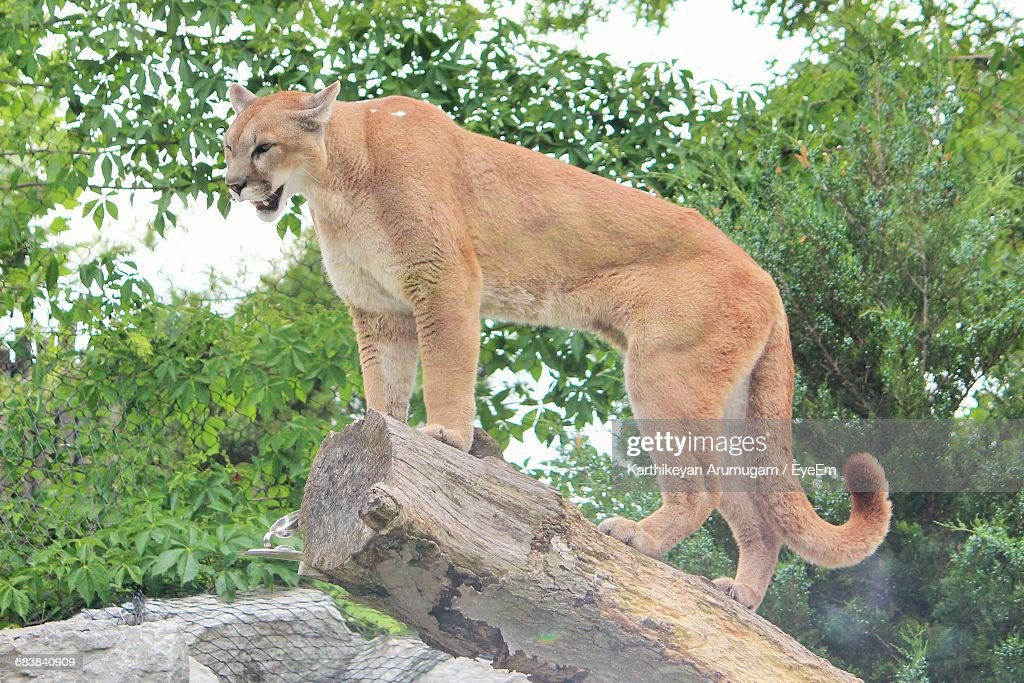 Low Angle View Of Cougar Standing On Wood : Stock Photo