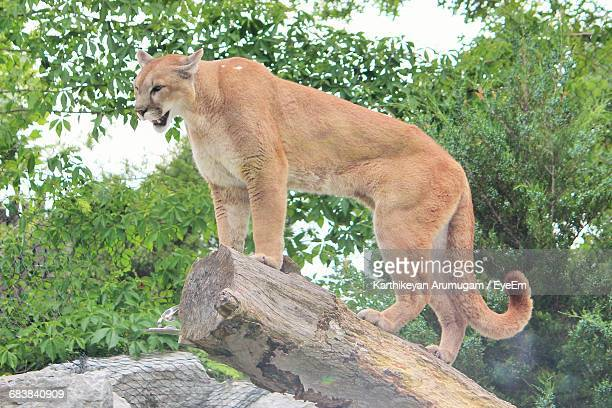 low angle view of cougar standing on wood - pumas fotografías e imágenes de stock