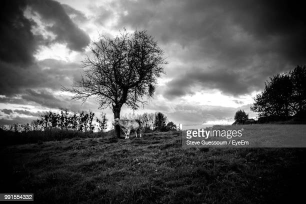Low Angle View Of Cow On Grassy Field Against Cloudy Sky