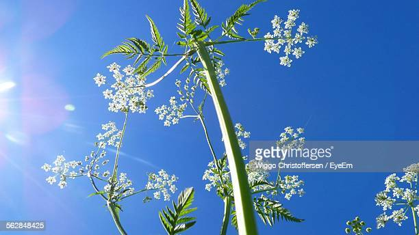 Low Angle View Of Cow Parsley Against Clear Blue Sky