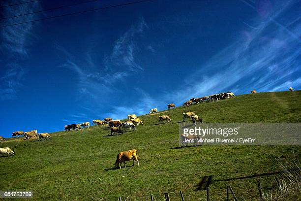 Low Angle View Of Cows Grazing On Field Against Blue Sky