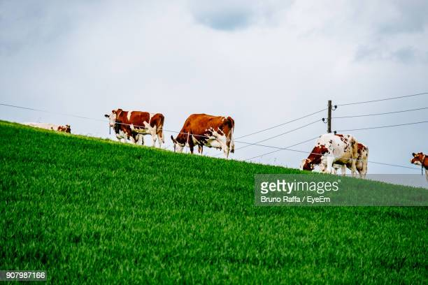 Low Angle View Of Cows Grazing On Field Against Sky