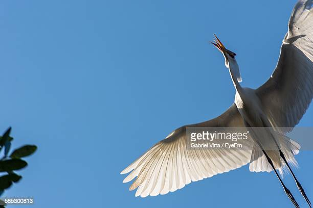 low angle view of crane carrying fish while flying in clear blue sky - crane bird stock photos and pictures