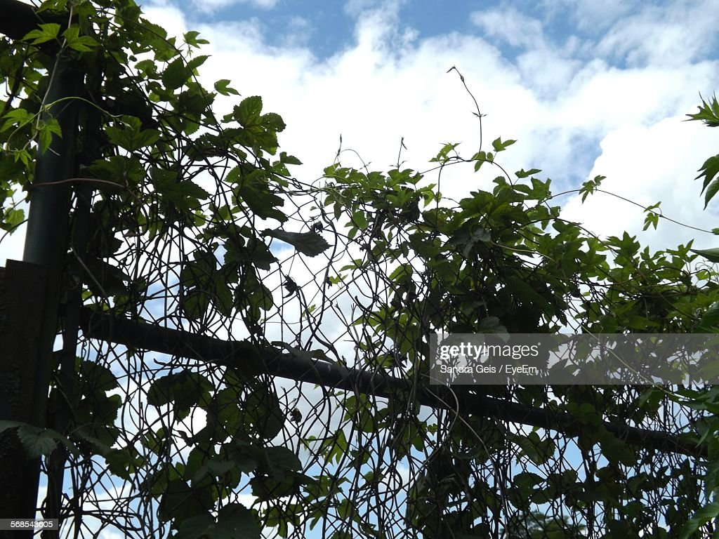 Low Angle View Of Creeper Plant On Fence Against Cloudy Sky : Stock Photo