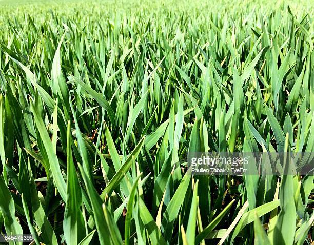 Low Angle View Of Crop Growing In Field