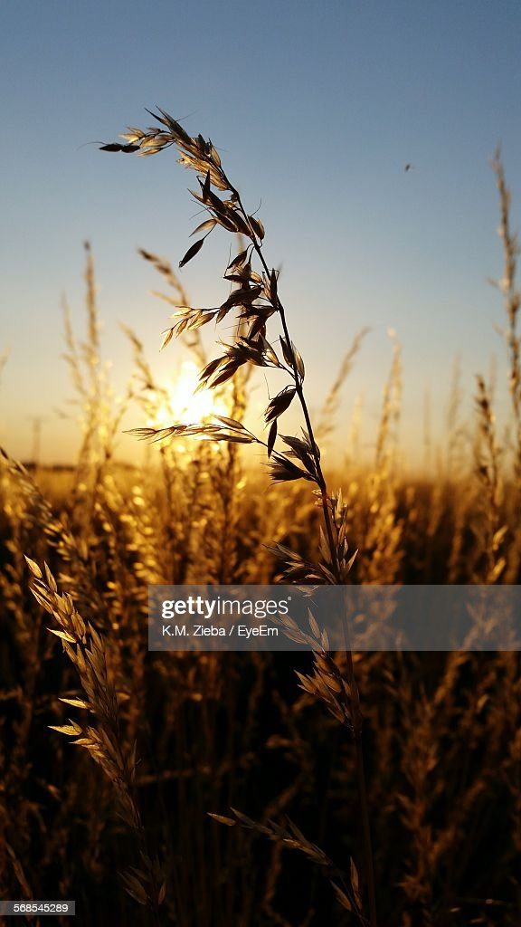 Low Angle View Of Crop Growing On Field During Sunset : Stock Photo