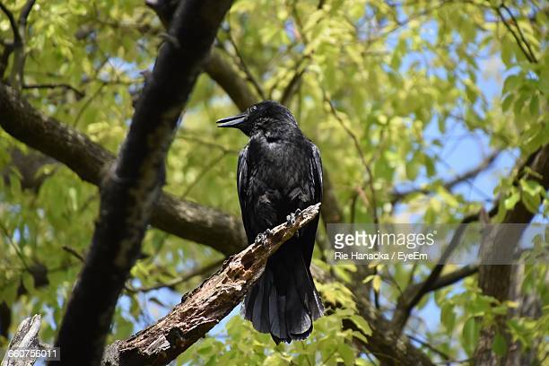 Low Angle View Of Crow Perching On Wood In Forest