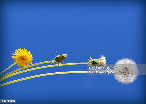 low angle view of dandelions against clear sky - diana daniels stock-fotos und bilder