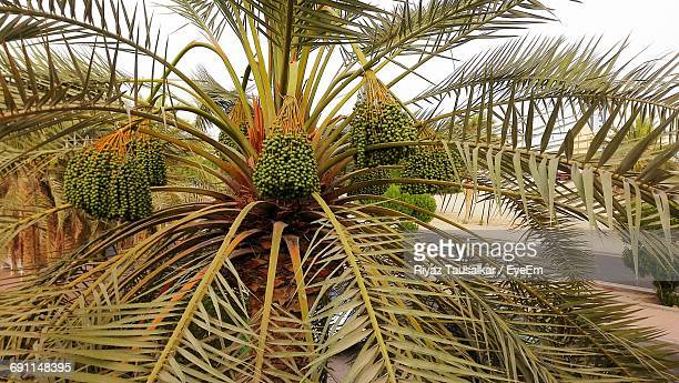 low angle view of date palm - date palm tree stock pictures, royalty-free photos & images