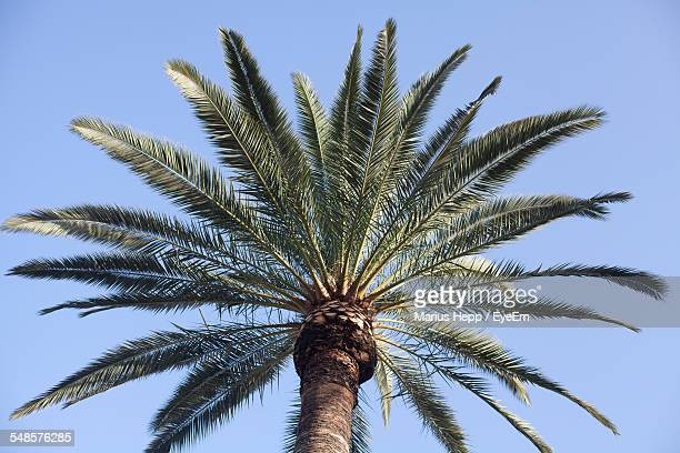 low angle view of date palm tree against clear sky - date palm tree stock pictures, royalty-free photos & images