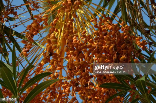 Low Angle View Of Dates Growing On Palm Tree