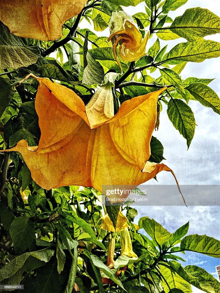 Low Angle View Of Datura Blooming At Park Against Sky : Stock Photo