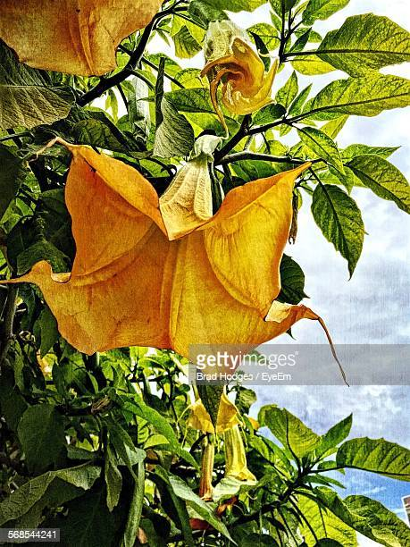 Low Angle View Of Datura Blooming At Park Against Sky