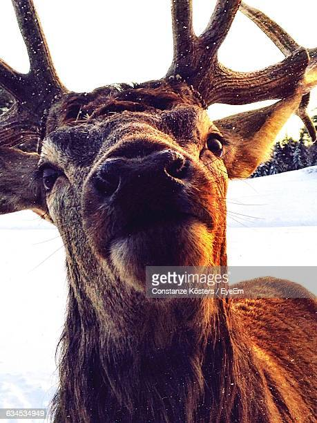 Low Angle View Of Deer During Snowfall