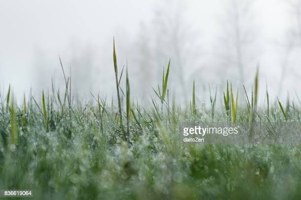 Low angle view of dew drops on grass and trees in early morning fog, Werdenfelser Land, Upper Bavaria, Germany